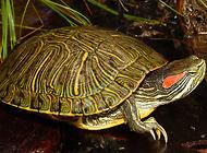 日光对巴西红耳龟的饲养特别重要?