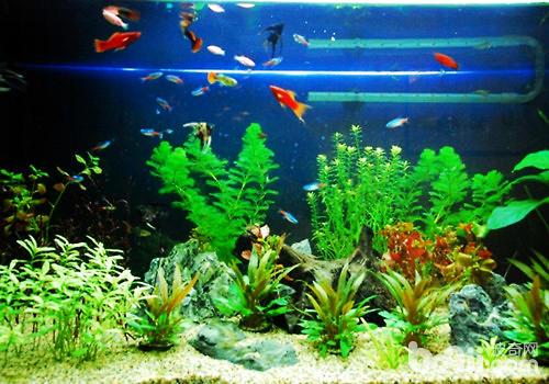 鱼缸如何养冷水鱼_适合冷水鱼的水草的种类,缸不大,什么水草适合种植,便宜的最好 ...