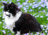 纯种挪威森林猫在哪能买到?