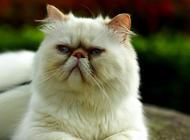 喜马拉雅猫养护知识介绍