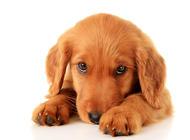 宠物专家认为喂狗粮的4点好处