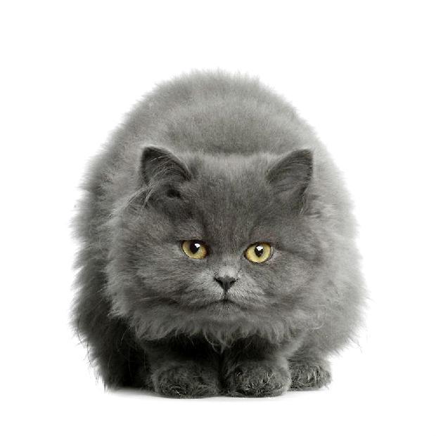 美国短毛猫图片,美国短毛猫介绍
