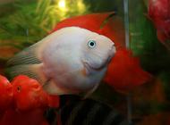观赏鱼之雪鹦鹉鱼品种图片介绍