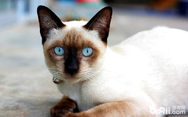 暹罗猫品种介绍、暹罗猫图片