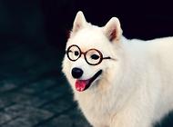 日常喂养萨摩耶狗狗的十个要点