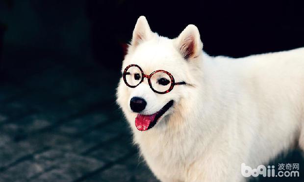 a_狗狗喂养知识:萨摩耶1个月到12个月每天都应该吃几次-狗狗品种[新闻]