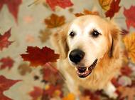 金毛的常见病:犬瘟