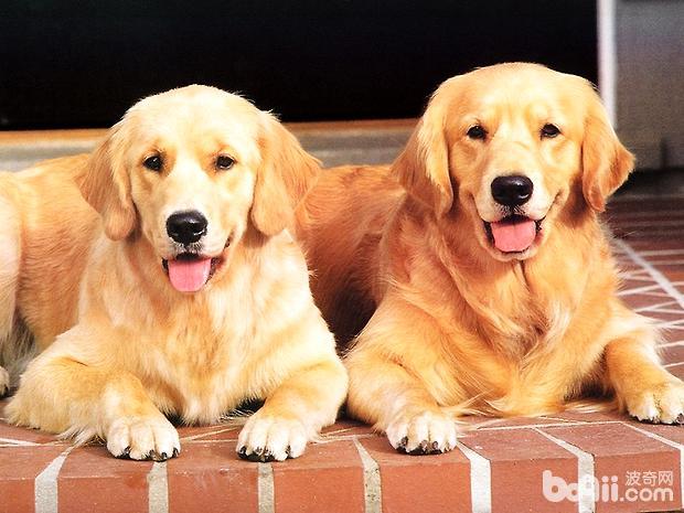 金毛狗狗一顿吃多少狗粮才合适呢