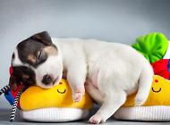 狗狗得了前列腺炎怎么办