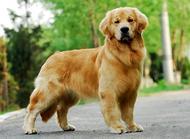 狗狗脱毛(掉毛)怎么办