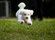 如何给拉布拉多犬做清洁护理