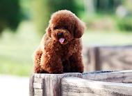 泰迪犬的毛色越来越淡,泰迪犬毛色有变化是为什么