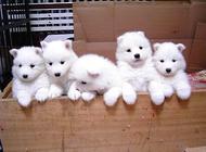 萨摩耶母犬的饲养与护理知识之断奶期