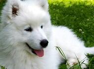 萨摩耶母犬的饲养与护理知识之分娩期