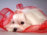 母犬繁殖期如何护理