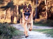 德国牧羊犬交配的年龄与时间