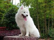 萨摩耶犬繁殖知识