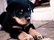 罗威纳犬的产后护理
