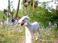 贝灵顿梗犬繁殖期间的护理