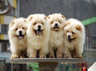 松狮犬的繁殖要点