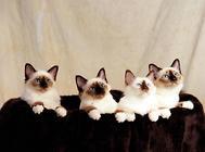 缅甸猫的品种分类,缅甸猫有哪些种类