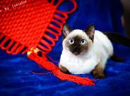 宠物猫之伯曼猫,伯曼猫图片,伯曼猫好养吗