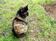 宠物猫之玳瑁猫品种介绍图片介绍