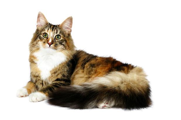 宠物猫之缅因猫,缅因猫有什么特点