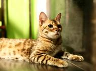 孟加拉豹猫的性格特点