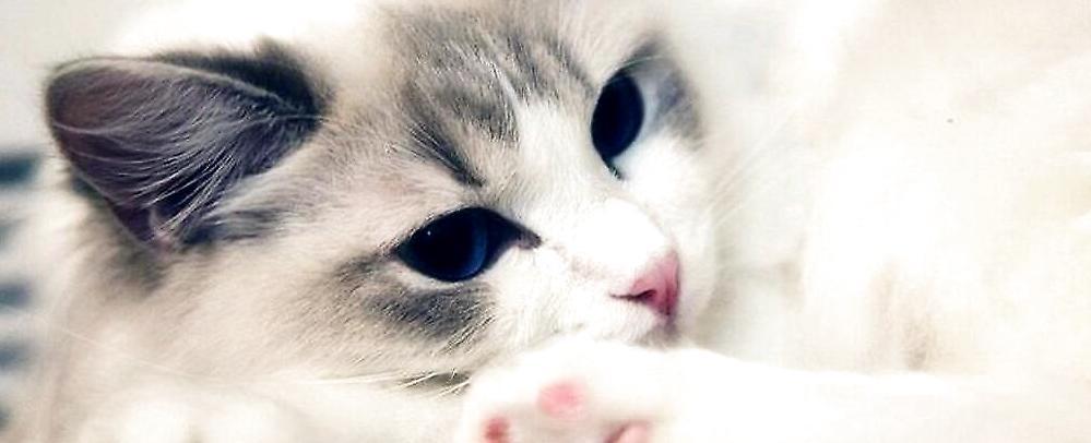 布偶猫图片,布偶猫特征,布拉多尔猫介绍