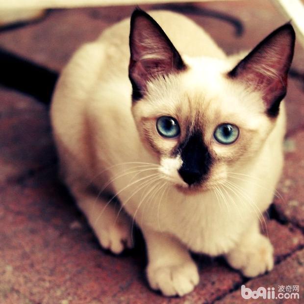 暹罗猫的品种分类,暹罗猫品种介绍