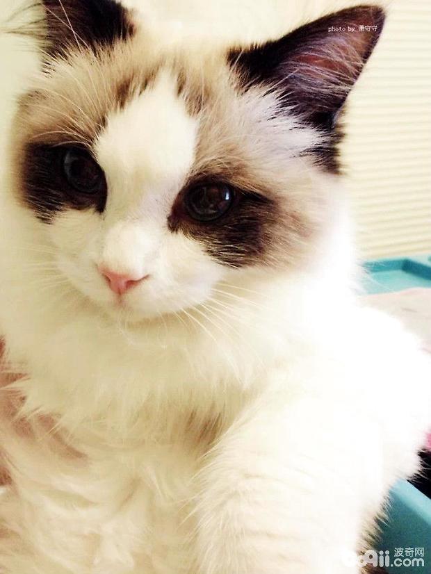 如何选购布偶猫,布偶猫购买要点