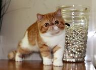 如何选购英国短毛猫,英国短毛猫选购小技巧