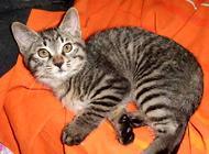 加州闪亮猫的清洁护理