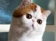 異國短毛貓的日常護理要點有哪些