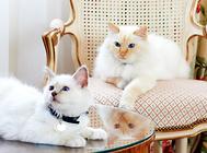 伯曼貓怎么護理?伯曼貓毛發和眼睛耳部護理要點