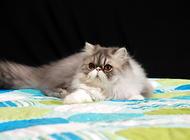 异国短毛猫的日常护理