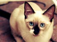 暹罗猫日常护理和饲养技巧
