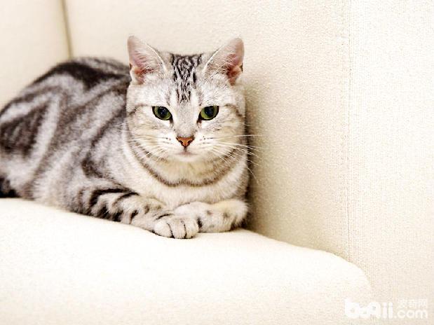 虎斑猫日常护理要注意什么?虎斑猫洗澡和日常清洁方法