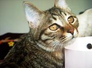狸花猫如何美容护理?狸花猫洗澡和修剪脚爪技巧