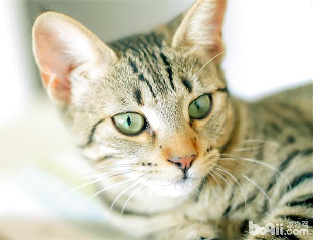> 埃及猫的生活习性   埃及猫(详情介绍)是现代家猫的原始品种之一.