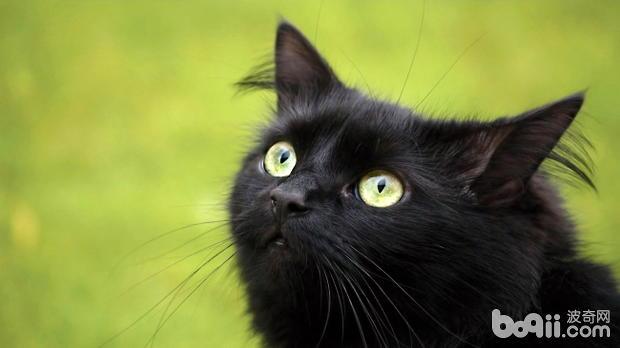 孟买猫好养吗?孟买猫有什么特点