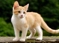 土耳其梵猫好养吗