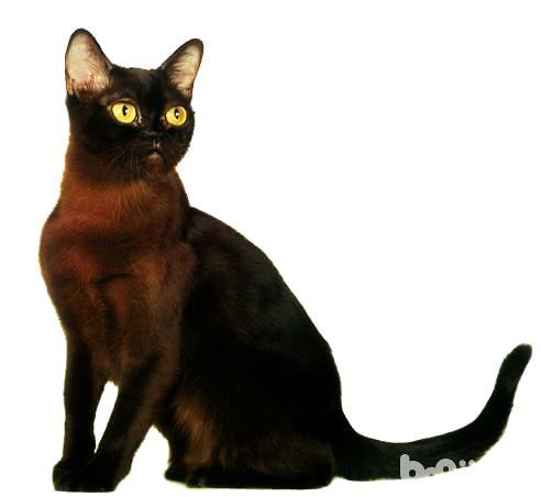 缅甸猫好养吗?缅甸猫习性和饲养特点