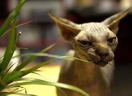 加拿大無毛貓的生活習性介紹,無毛貓品種特性簡介