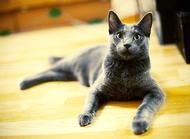 俄罗斯蓝猫好养吗