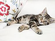 虎斑猫的生活习性,虎斑猫摇尾巴代表什么