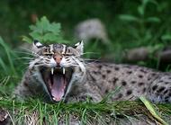 渔猫的繁殖知识简单介绍