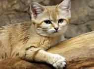 沙丘猫如何繁殖?沙丘猫繁殖周期多长
