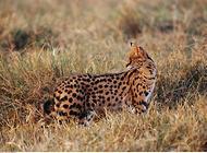 薮猫的繁殖,薮猫的孕期多长